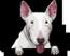 Bull Terrier (White)
