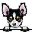 Chihuahua 4